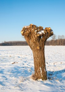 Pollarded willow in a Dutch snowy polder landscape
